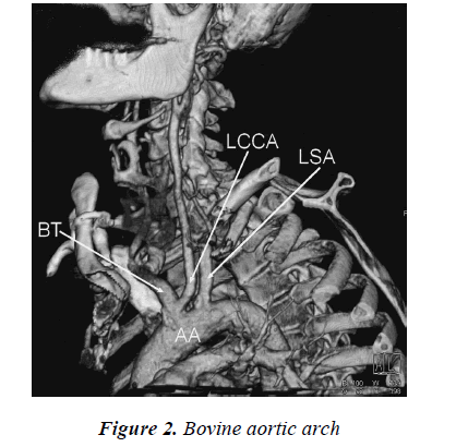 biomedres-Bovine-aortic-arch