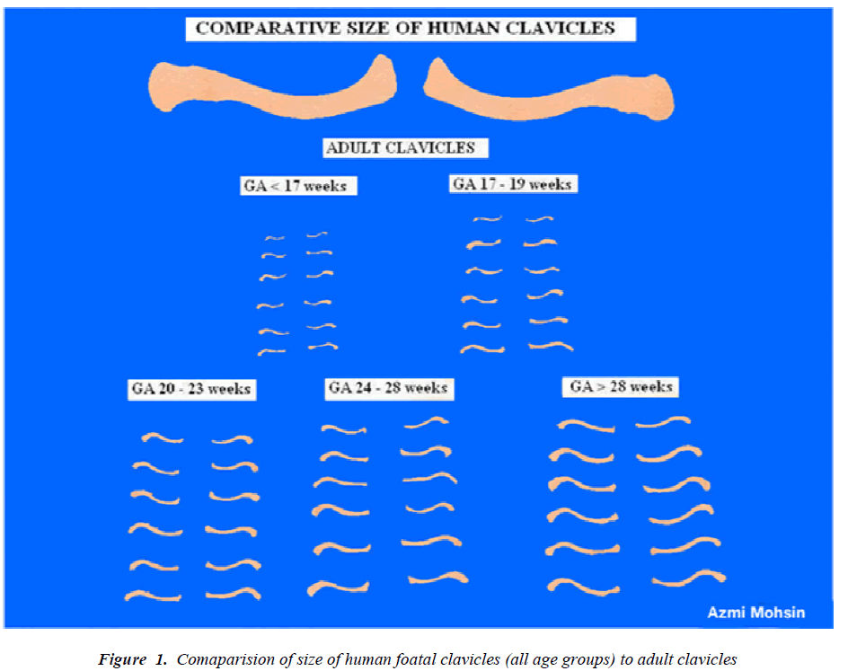biomedres-Comaparision-size-human-foatal