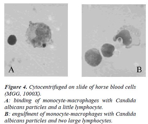 biomedres-Cytocentrifuged-slide-horse-blood-cells