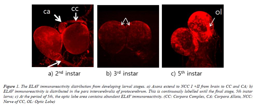 biomedres-ELAV-immunoreactivity