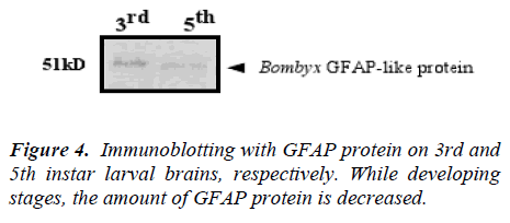 biomedres-GFAP-protein