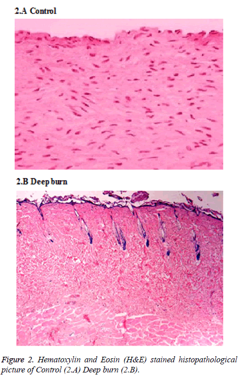 biomedres-Hematoxylin-picture