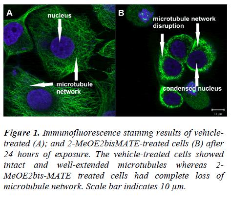 biomedres-Immunofluorescence-staining