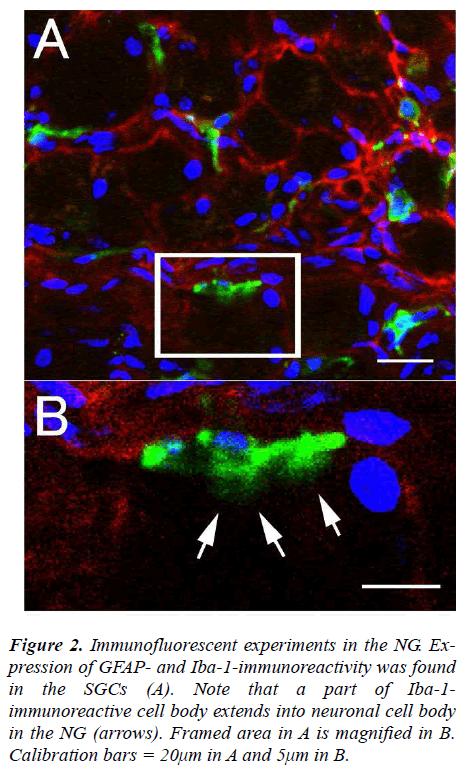 biomedres-Immunofluorescent-experiments-NG
