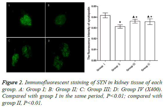 biomedres-Immunofluorescent-staining-SYN