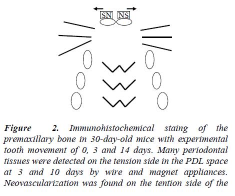 biomedres-Immunohistochemical-staing-premaxillary
