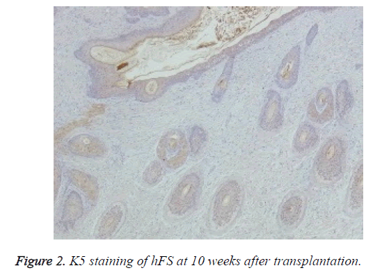 biomedres-K5-staining