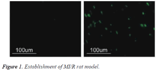 biomedres-MI-R-rat-model