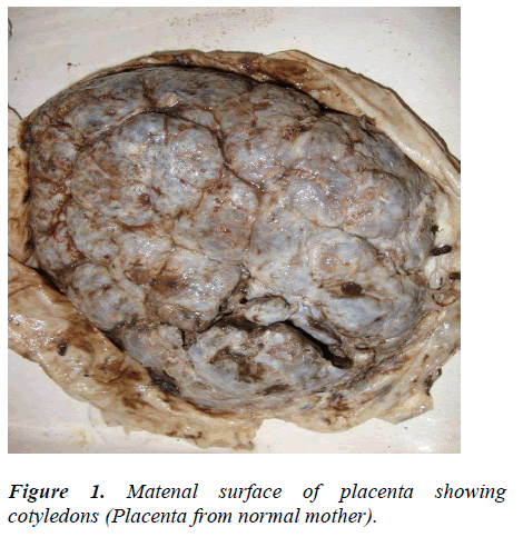 biomedres-Matenal-surface-placenta