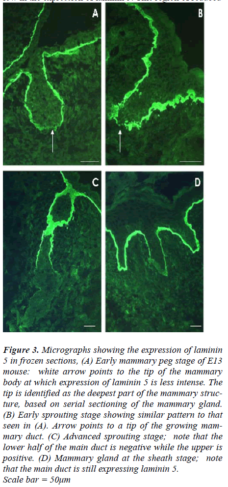 biomedres-Micrographs-showing-expression-laminin