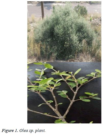 biomedres-Olea-plant