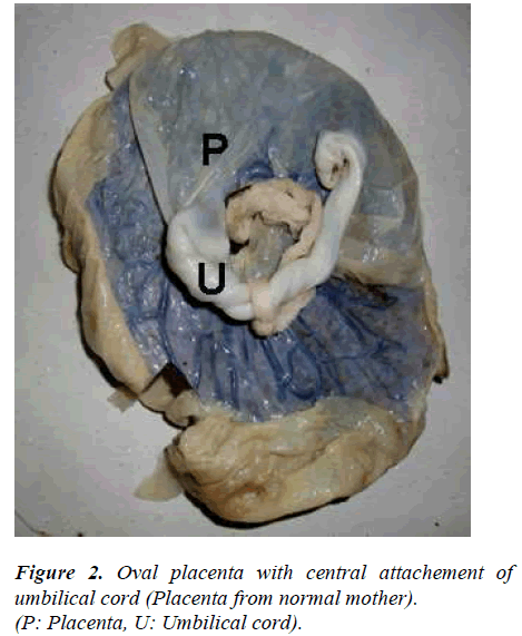 biomedres-Oval-placenta-central