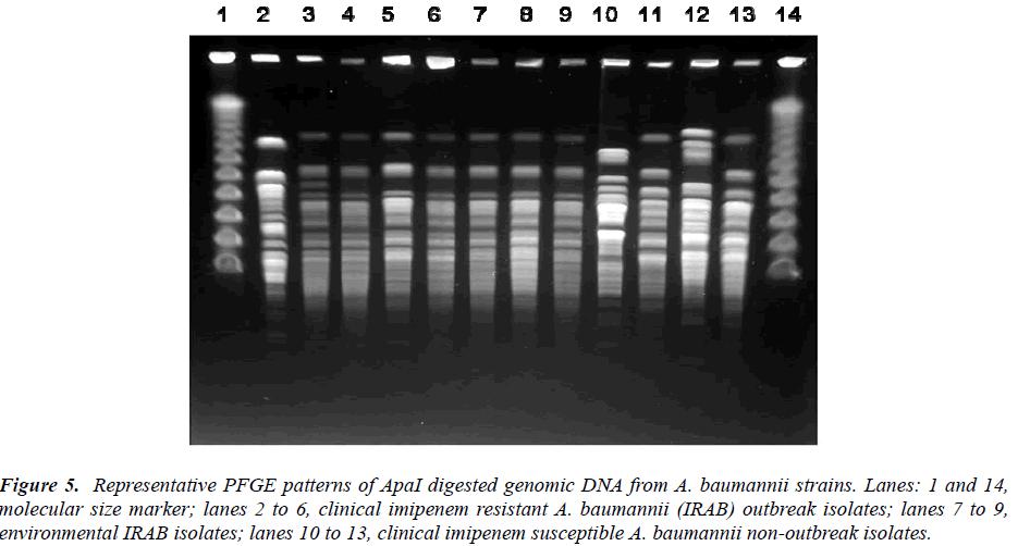 biomedres-PFGE-patterns-ApaI-digested