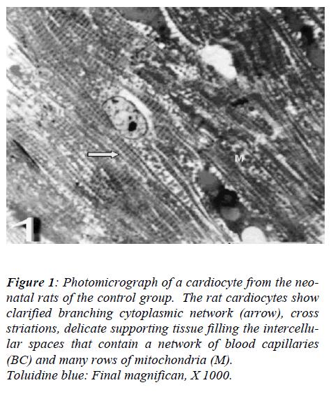 biomedres-Photomicrograph-cardiocyte-rats