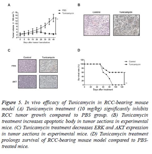 biomedres-RCC-bearing-mouse