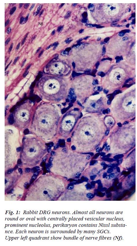 biomedres-Rabbit-DRG-neurons
