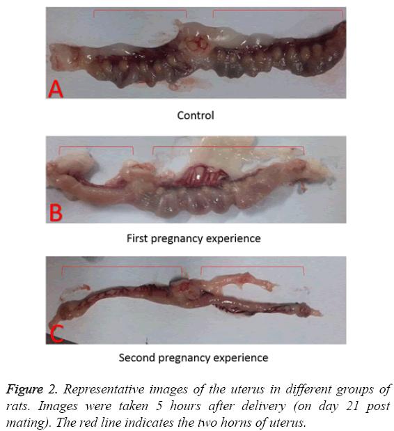 biomedres-Representative-images-uterus