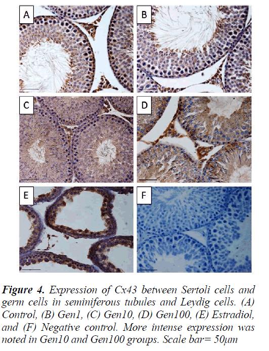 biomedres-Sertoli-cells