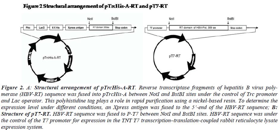 biomedres-Structural-arrangement-pTrcHis-A-RT