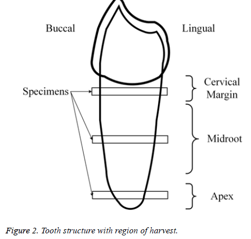 biomedres-Tooth-structure