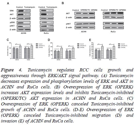 biomedres-Tunicamycin-regulates