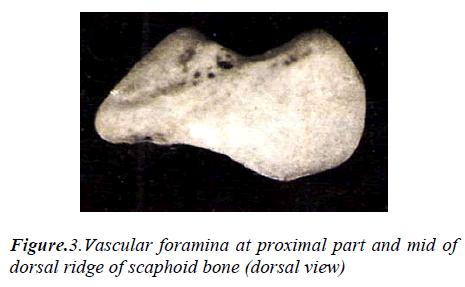 biomedres-Vascular-foramina-proximal-part