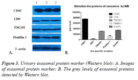 biomedres-Western-blot