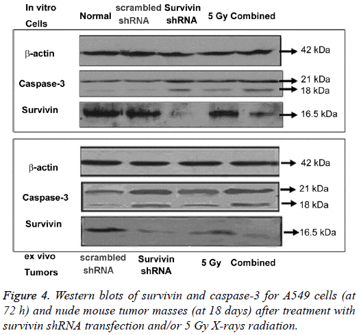 biomedres-Western-blots-survivin