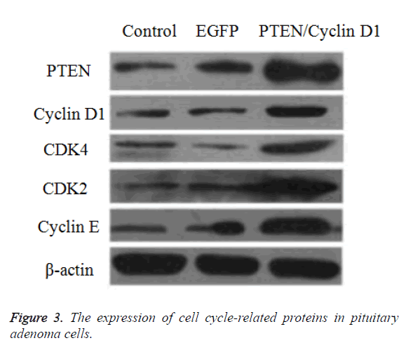 biomedres-adenoma-cells