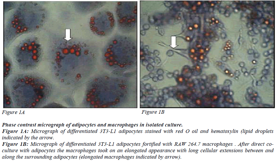 biomedres-adipocytes-stained