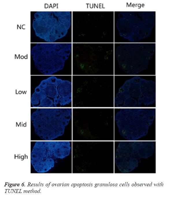 biomedres-apoptosis-granulosa-cells