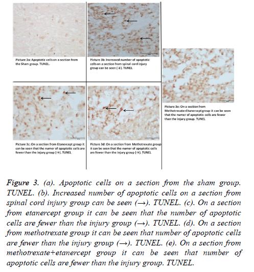 biomedres-apoptotic-cells