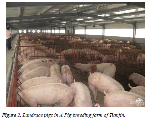 Pig behavior research and its application in breeding