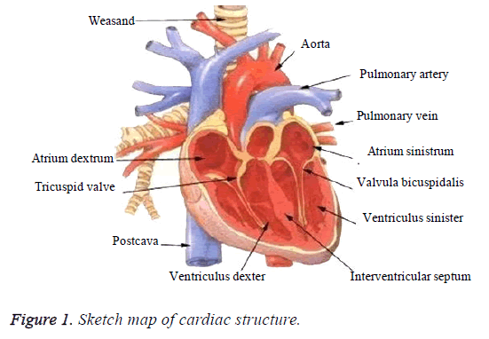 biomedres-cardiac-structure