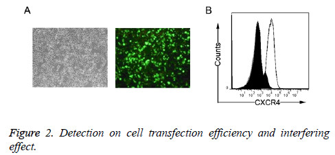 biomedres-cell-transfection