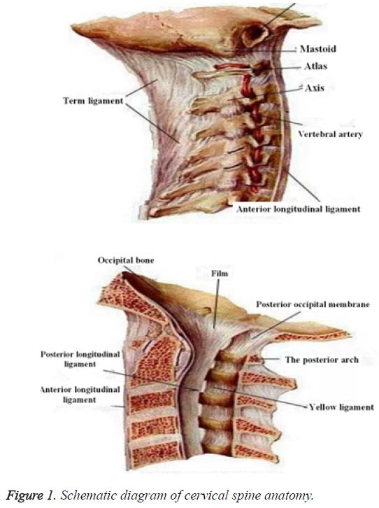 biomedres-cervical-spine-anatomy