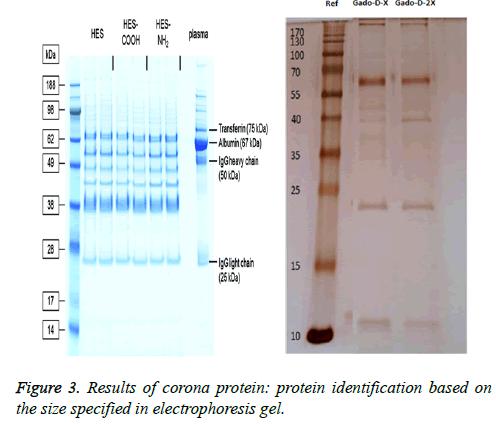 biomedres-corona-protein