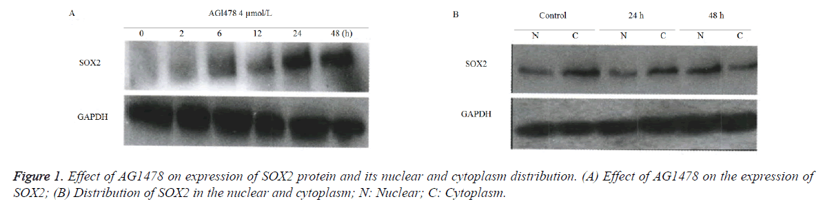 biomedres-cytoplasm-distribution