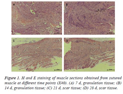 biomedres-granulation-tissue