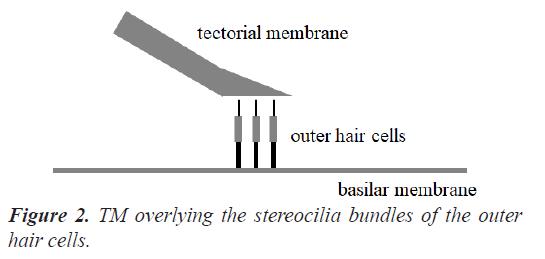 biomedres-hair-cells