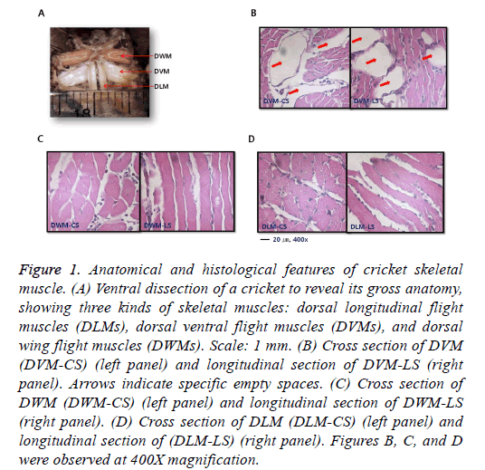 biomedres-histological-features