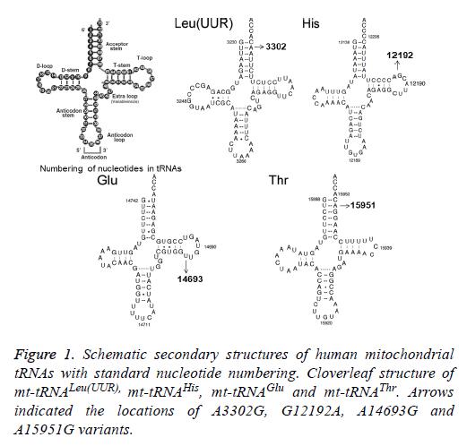 biomedres-human-mitochondrial