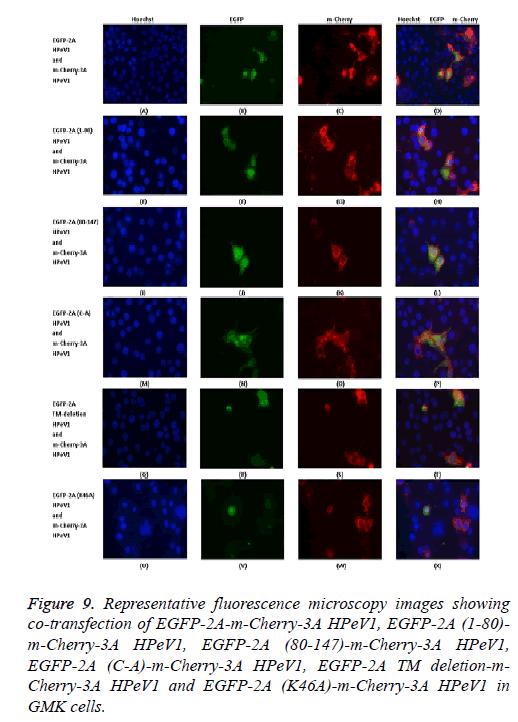 biomedres-microscopy-fluorescence