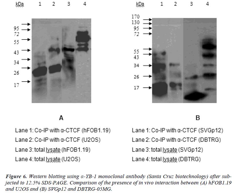 biomedres-monoclonal-antibody