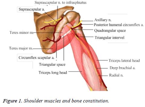 biomedres-muscles-bone