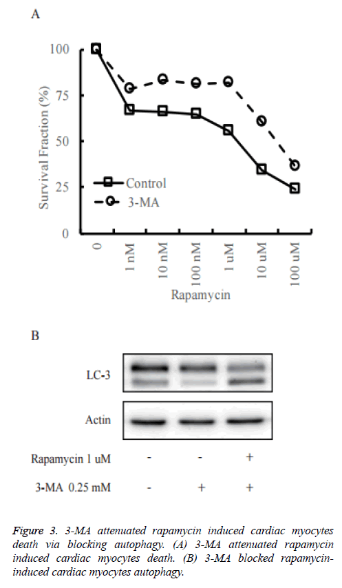 biomedres-myocytes-autophagy