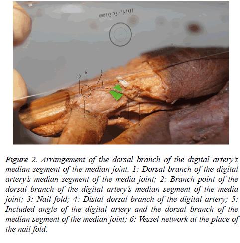 biomedres-nail-fold