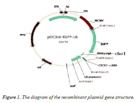 constructed recombinant plasmid with cxcr2 sirna interventions on