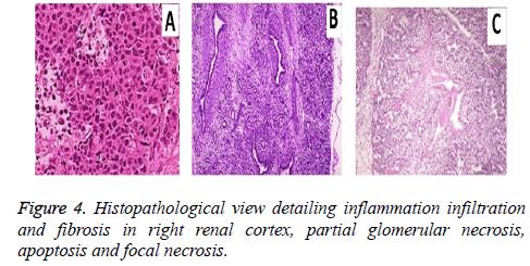 biomedres-renal-cortex