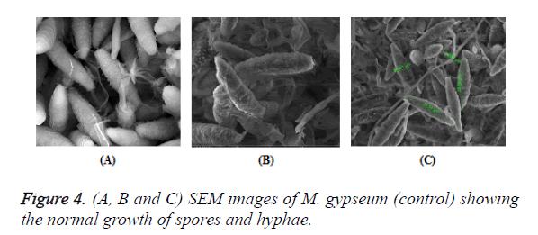 biomedres-spores-hyphae